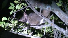 P02844 Galago or Greater Bushbaby in Africa at Night Stock Footage