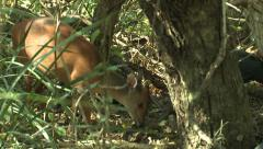 P02849 Red Duiker and Guinea Fowl in Forest in Africa Stock Footage