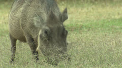 P02868 Africa Warthog Feeding Stock Footage