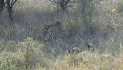 P02891 Pair of African Cheetahs in Grass Stock Footage
