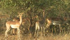 P02862 Impala Herd Feeding at Kruger National Park Stock Footage