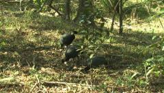 P02850 Guinea Fowl in Africa Stock Footage
