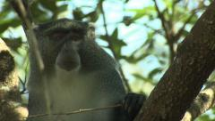 P02848 Samango Monkey Face Stock Footage