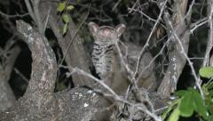 P02874 African Bushbaby at Night in Tree Stock Footage