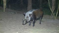 P02866 African Bushpig at Night Stock Footage
