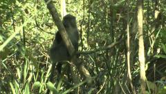 P02851 Samango Monkey in Tree at Hluhluwe Park Stock Footage
