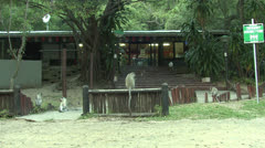 P02852 Vervet Monkeys at Store at St. Lucia Wetland Park Stock Footage