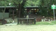 P02852 Vervet Monkeys at Store at St. Lucia Wetland Park Stock Footage