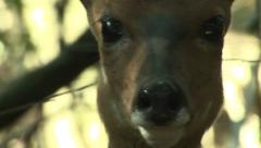 P02846 Bushbuck Doe Feeding and Closeup of Face Stock Footage