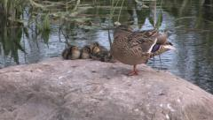 Mother duck with little ducks on stone Stock Footage