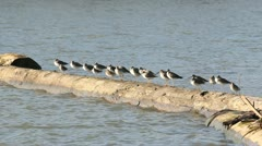 Sandpipers on a Log - stock footage