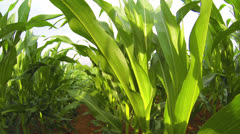 Corn Field Green, Vivid and Clear 1 HD Stock Footage
