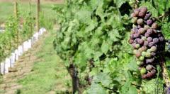 Fruit bearing grape vines Stock Footage