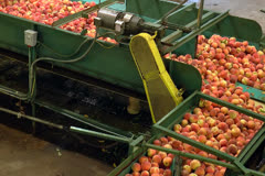 Peaches being processed in packing plant moving along conveyor - stock footage