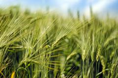 Young wheat close up Stock Photos