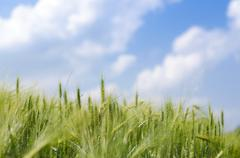 Young green wheat - stock photo