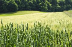 Young green wheat field Stock Photos