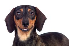 Beautiful dog teckel smiling Stock Photos