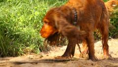 Wet dog on the sand, English Cocker Spaniel on the beach Stock Footage