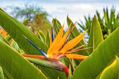 Stock Photo of strelitzia reginae