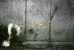 A dog on a leash chained to a wall Stock Photos