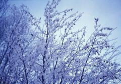 Snow-covered tree branches Stock Photos