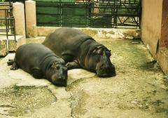 A mother and baby hippopotamus at the zoo Stock Photos