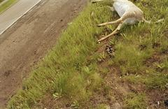 A dead deer lying by a road Stock Photos