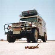 A thorny devil lizard, moloch horridus, in front of a vehicle in Australia Stock Photos