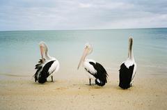 Three Australian pelicans (pelecanus conspicillatus) sitting on a beach Stock Photos