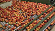 Stock Video Footage of Summer Peaches being processed in packing plant