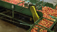 Stock Video Footage of Peaches moving along conveyor in packing plant
