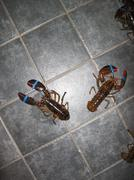 Lobsters making an escape Stock Photos