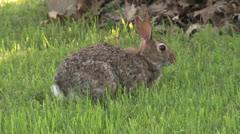 Alert Rabbit Eating - stock footage