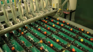 Stock Video Footage of Peaches being sorted and processed in packing plant