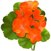 Geranium Flower - stock illustration