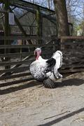 Side view of a captive turkey on a farm Stock Photos