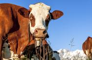 Stock Photo of alpine cow