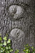 The beginning of two hollows in a tree trunk Stock Photos