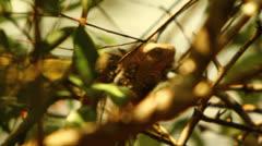 Iguanas Sunbathing In Rainforest In Costa Rica HD Video - stock footage
