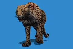 Cheetah Walking Frontal View Stock Footage