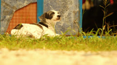 Dog Sitting Outside in The Sun HD Video Stock Footage