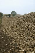 A long pile of sugar beets in a field Stock Photos