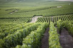 Rolling hills of a vineyard Stock Photos