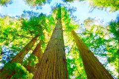 Redwood grove in north california. Stock Photos
