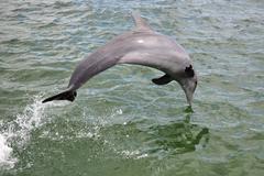 Delfiini hyppää mereen, Havana, Kuuba Kuvituskuvat
