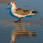 Closeup of a seagull walking by the foreshore Stock Photos