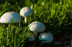 Photo of poisonous mushrooms in the garden. Stock Photos