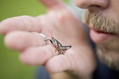 Man holding grasshopper in the palm of his hand Stock Photos