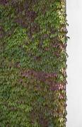 Boston Ivy (Parthenocissus tricuspidata) covering wall Stock Photos